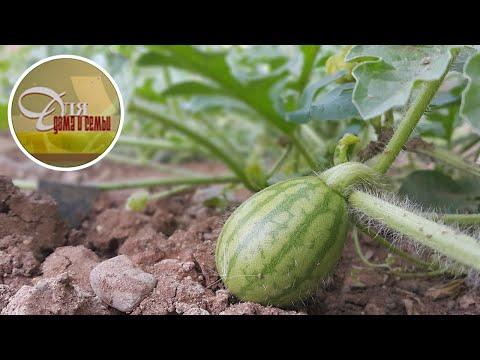 Вопрос: Сколько арбузов можно собрать с одного растения?