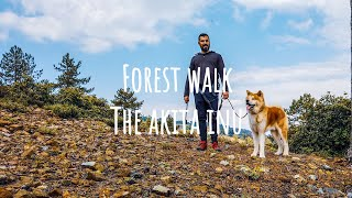 Akita Inu dog  A beautiful and exciting walk in the forest