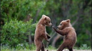 фильм документальный 2018 Бурый медведь. Мир животных. Медвежьи истории. Документальный фильм.