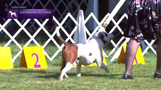 Staffordshire Bull Terriers | Breed Judging 2021