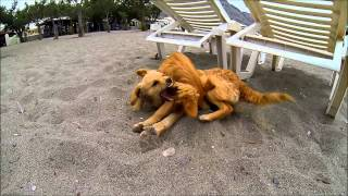 Греческие собаки играют на пляже (Родос)