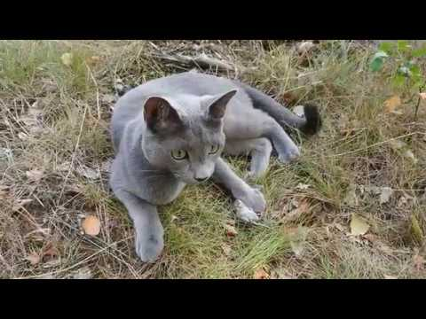 Caspian, a Russian blue cat has hunted a mouse