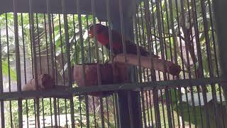 Suara Burung Nuri Irian Kepala Hitam