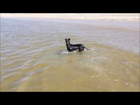 Chester the Manchester Terrier and the summer fun