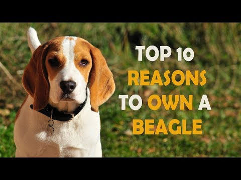 Top 10 Reasons to OWN A BEAGLE