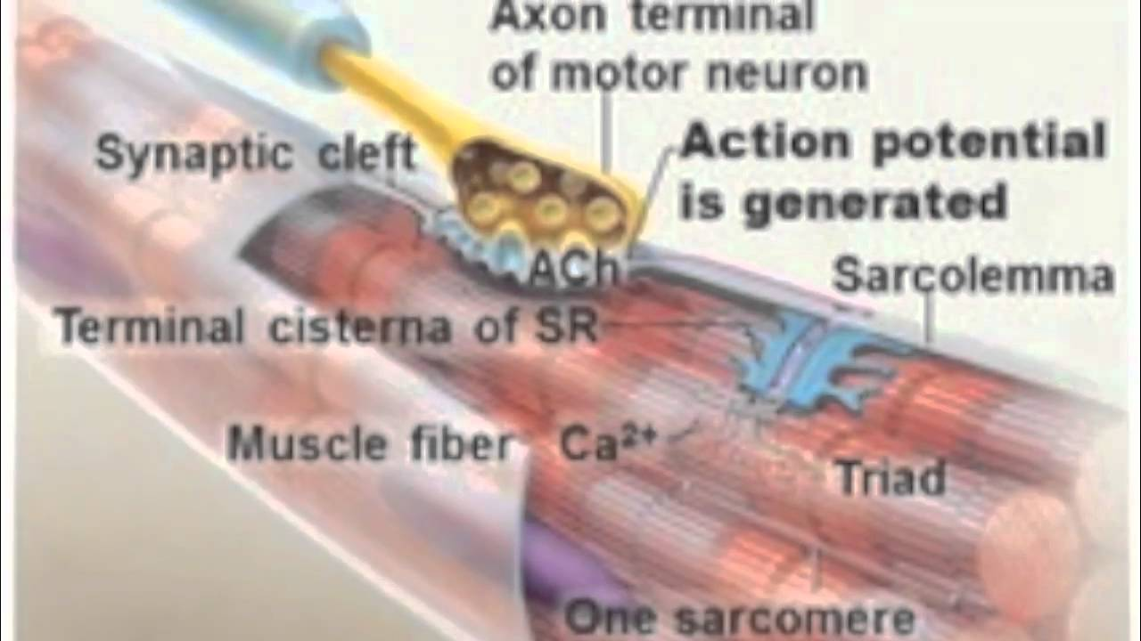 steps of muscle contraction - youtube, Muscles