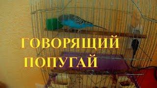 Волнистый попугай Тошка. Говорящий без умолку.