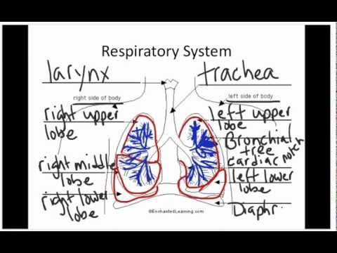 How lungs work