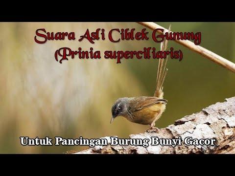 Suara Asli Burung Ciblek Gunung untuk Pancingan Burung Gacor Kembali (Prinia superciliaris)