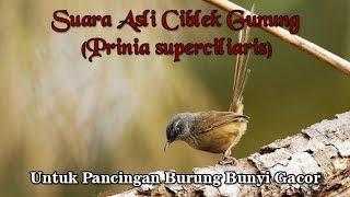 Gambar cover Suara Asli Burung Ciblek Gunung untuk Pancingan Burung Gacor Kembali (Prinia superciliaris)
