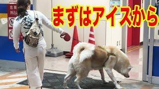 秋田犬そうすけ君・ジャーマンシェパード犬マック君リハビリ お付き合い...
