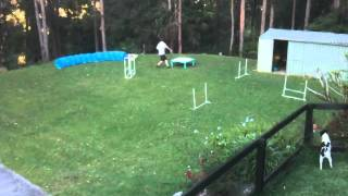 Lucinda, Wire Fox Terrier, and her person, learning agility,while O...