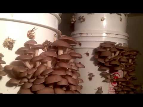 A Blink of the Eye in Oyster Mushroom City