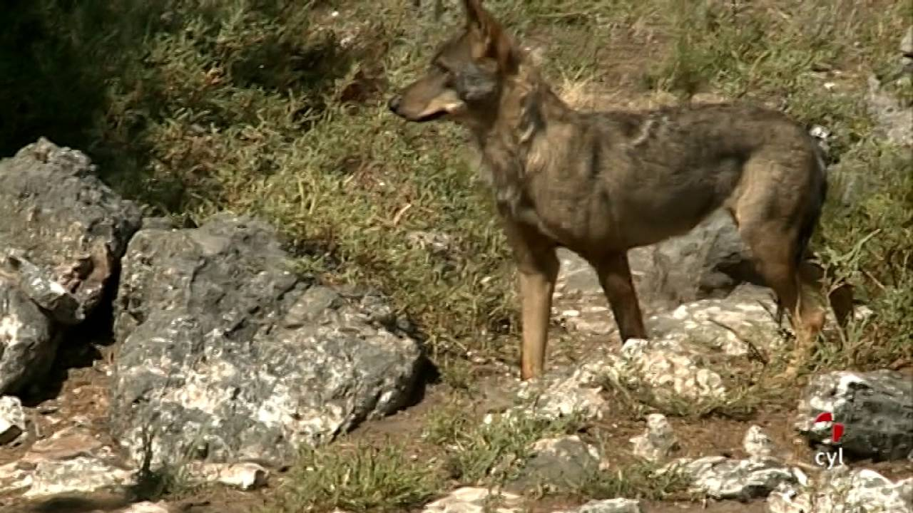 El Lobo Ibérico. Centro del Lobo. Robledo de Sanabria