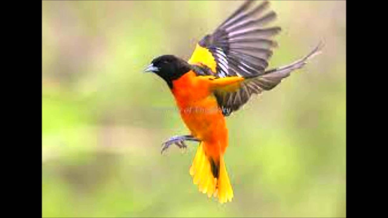 Flight Of The Oriole Youtube