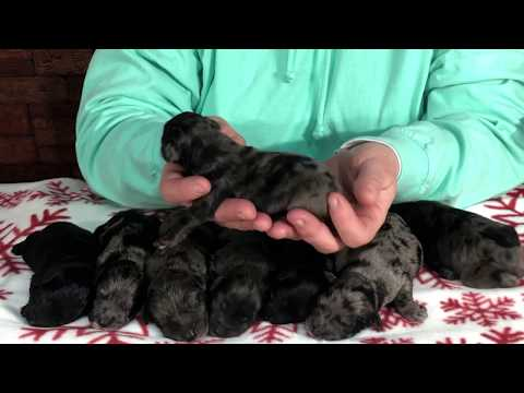 Roxie's new born schnoodles 4 days old  -  December 10, 2019
