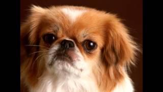 Пекинес/Pekingese (порода собак HD slide show)!
