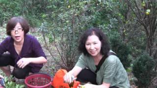 2011/11/19 上午開車經內門至甲仙,來到朋友的私人度假果園,這裡有金橘...