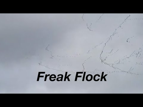 1000s of birds appear to float through sky like stands of silk!