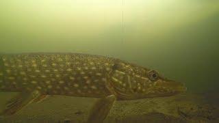 Весенний жор Щуки на Жерлицы Подводная съёмка Щука атакует живца