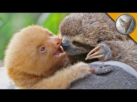 Brave Wilderness | Sloth vs Sloth!