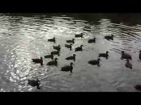 Duck Relay Races