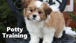 How To Potty Train A Havashu Puppy - Hava Shu House Training Tips - Housebreaking Havashu Puppies