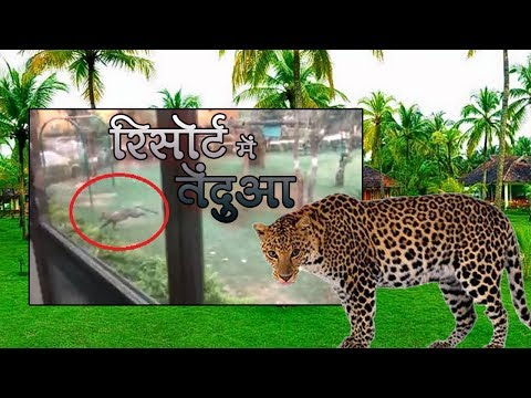 Leopard Entered The MP Tourism Board Resort At Turiya Gate Of Pench National Park | Talented India