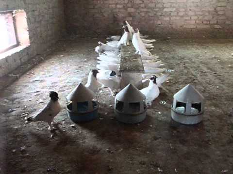 фото иранские голуби