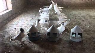 Смотреть видео иранские щекатые голуби видео