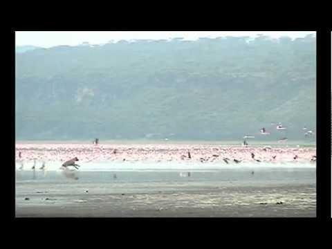 Hyena Attacks a Million Flamingos;  Lake Nakuru, Kenya