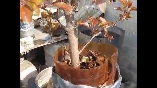 видео бонсай из яблони