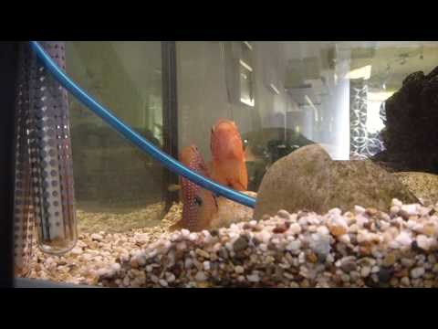 Red Jewel Cichlids Laying Eggs