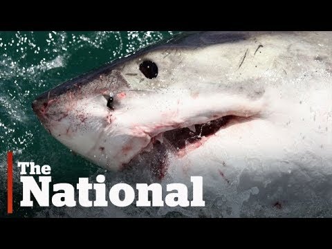Nova Scotia's great white sharks may hold key to species' survival