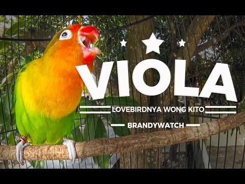BRANDYWATCH : Good Morning! Lovebird VIOLA Ngekek Panjang Sambil Jemur Pagi