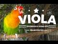 Good Morning Lovebird Viola Konslet Ngekek Panjang Sambil Jemur Pagi  Mp3 - Mp4 Download