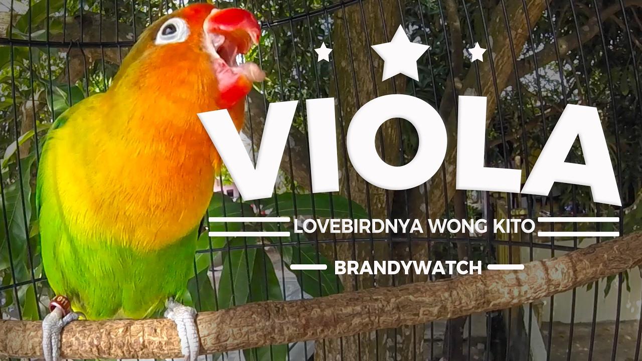 BRANDYWATCH : Good Morning! Lovebird VIOLA Ngekek Panja ...