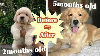 成長記録の検証結果、【驚愕】ゴールデンレトリーバーの子犬は3ヶ月で...