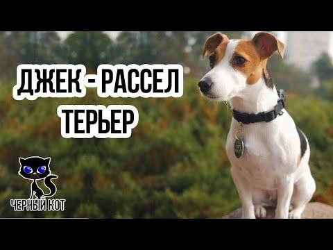 Джек-рассел-терьер / Интересные факты о собаках