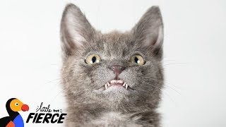 Kitten Has The World's Most Adorable Smile - WOLFIE | The Dodo Little But Fierce