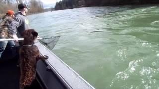 Steelhead on the Cowlitz river