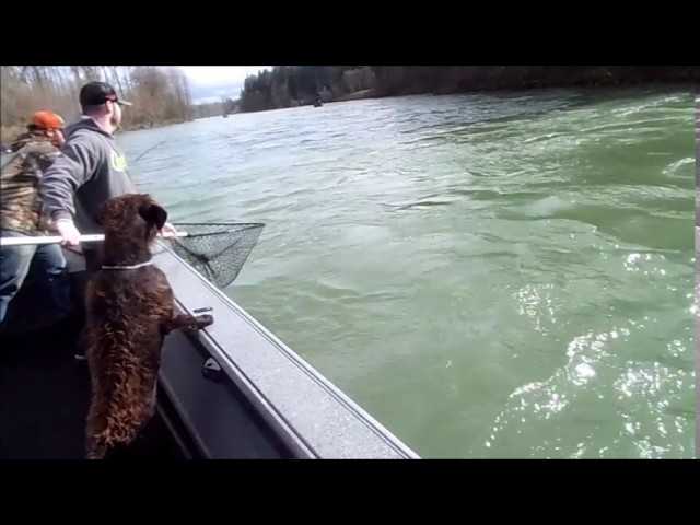 Steelhead on the Cowlitz river