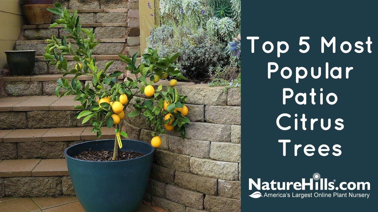 top 5 most popular patio citrus trees naturehills com