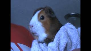 the guinea pig song make it rain hay