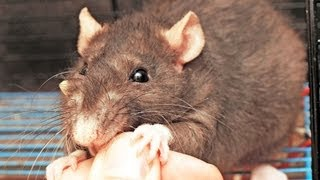 How to Deal with a Rat That Bites | Pet Rats