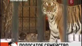 В зоосаду Хабаровского края родился тигрёнок