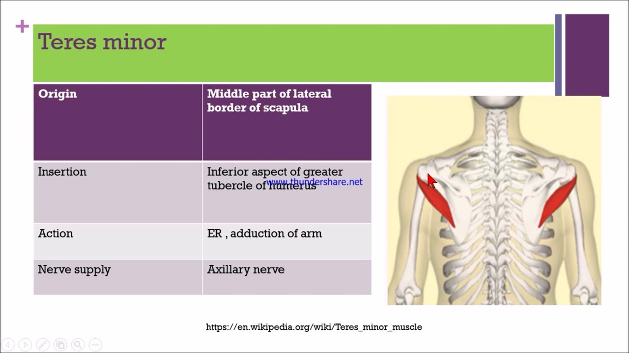 shoulder joint - YouTube