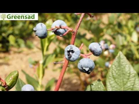 "Голубика ""Торо"" - видео-обзор от Greensad"