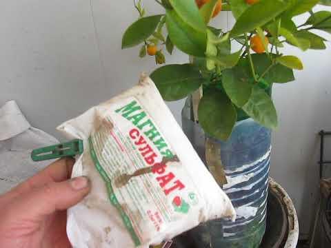 Выращивание каламондина без секретов
