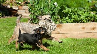 Border Terrier Pandemonium